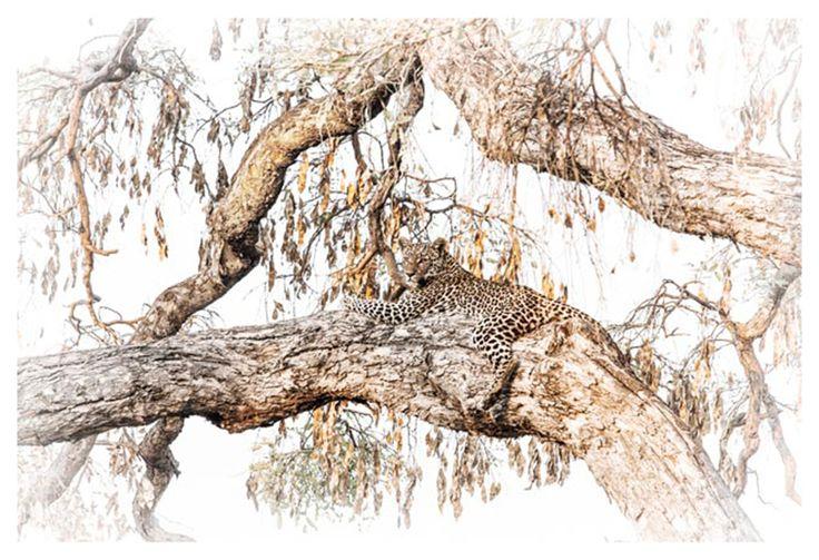 fine art print of a leopard in a tree