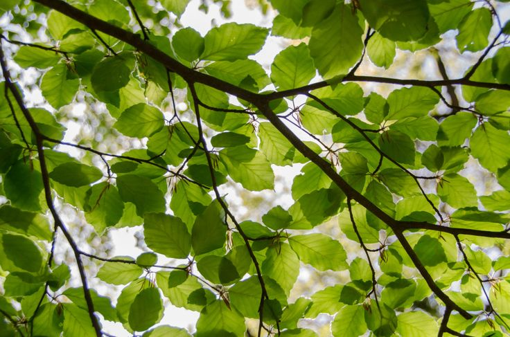 Picture of beech leafs, shot from the ground towards the sky. The fresh green color of spring is captured here. free stock photo download