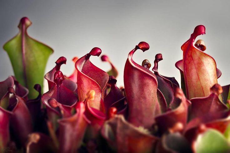 Heliamphora heterodoxa x minor.  A Pall of Doubt Over the Despondent Masses  Heliamphora heterodoxa x minor.  TY @halia_e and @supercalifragilisticexpialidoo @dontsteponmyflora for letting me ogle your plants.  #pitcherplants #heliamphora #carnivorousplantsofinstagram #gardening #houseplantclub #sigma #105mm #strobist #createcommune #artofvisuals #fatalframes #agameoftones  @focalmark #instanaturelover #top_macro #fingerprintofgod #macroshot #macro_secrets #macro_mood #macromood #macroworld…