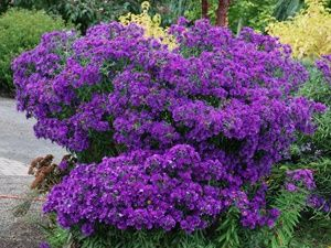 "Aster Purple Dome Disease-proof dwarf Aster 1000's of purple blooms Easy sun loving groundcover Thrives in sand or clay Only 12-18"" tall View all Sun Perennials Zone 4,5,6,7,8 Blooms Late Summer-Fall 12-18"" x 12-18"""
