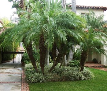Queen Palm Landscape Design | Roebellini Palm