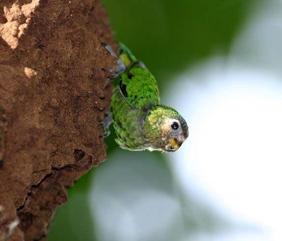 Pygmy Parrot | Geelvink Pygmy-Parrot (Micropsitta geelvinkiana) A juvenile bird on ...