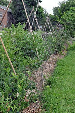 bamboo teepee to protect a long row of blueberries.