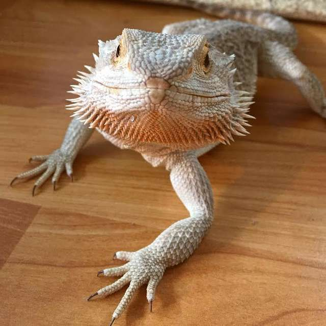 Snuggly Lizard Loves Nothing More Than Cuddling In Blankets Cute Little Animals Cuddly Animals Pet Lizards