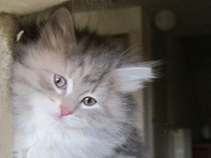 Coccole & Fusa - Allevamento Gatto Siberiano / Siberian Cat Breeding - Assago - Milano - Italy - Coccole & Fusa - Allevamento Gatto Siberiano / Siberian Cat Breeding - Assago - Milano - Italy