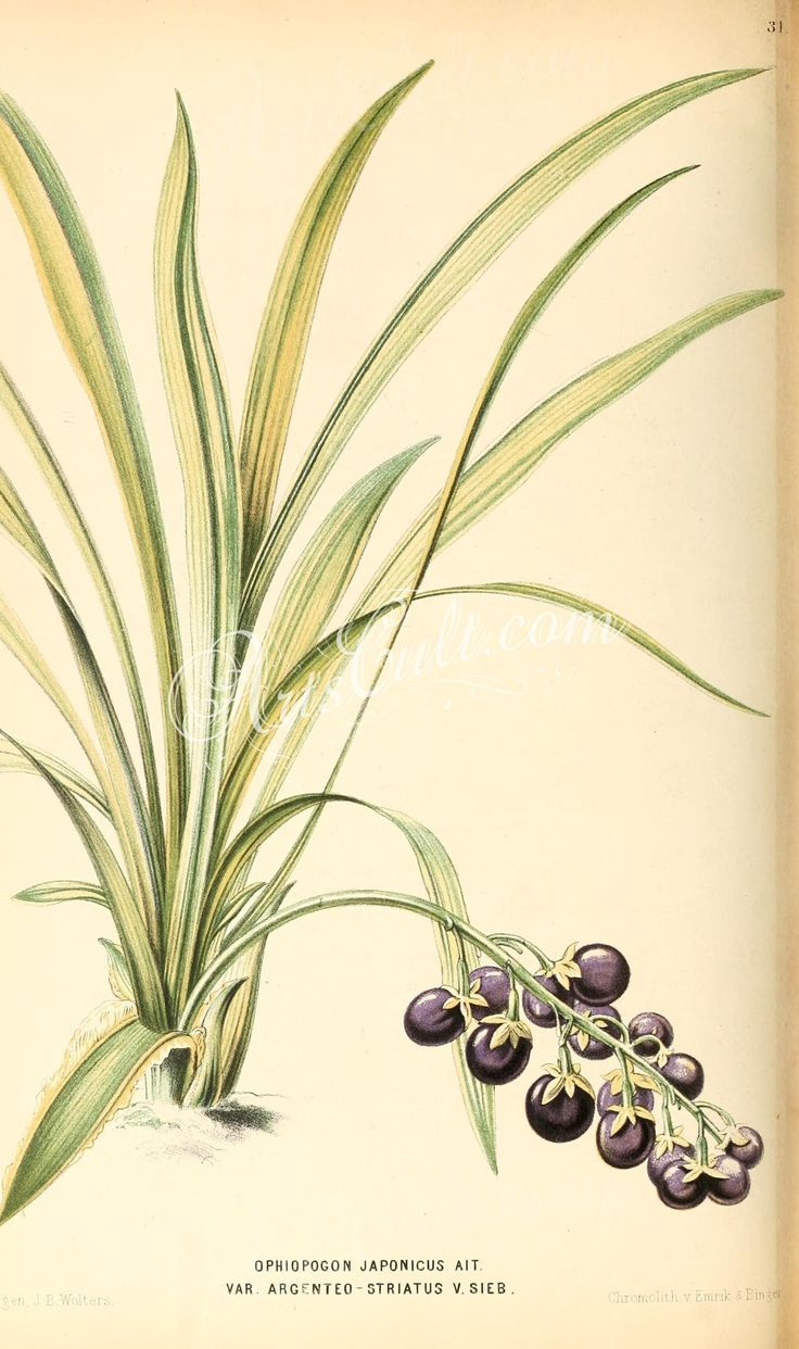 ophiopogon japonicus      ...