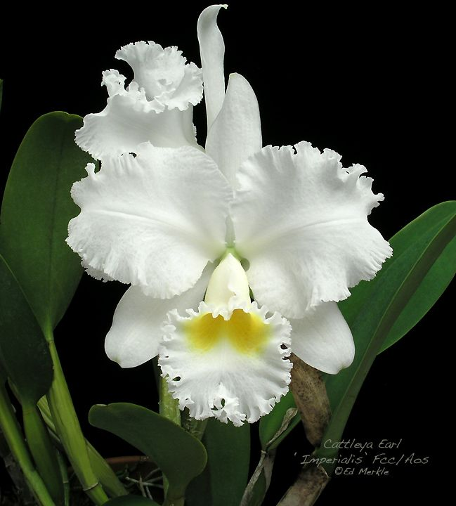 Aos Awarded Cattleya Orchids | The Orchid Source - Orchid Forum. I LOVE the movie Columbiana where Zoe Saldana's character is named after this orchid