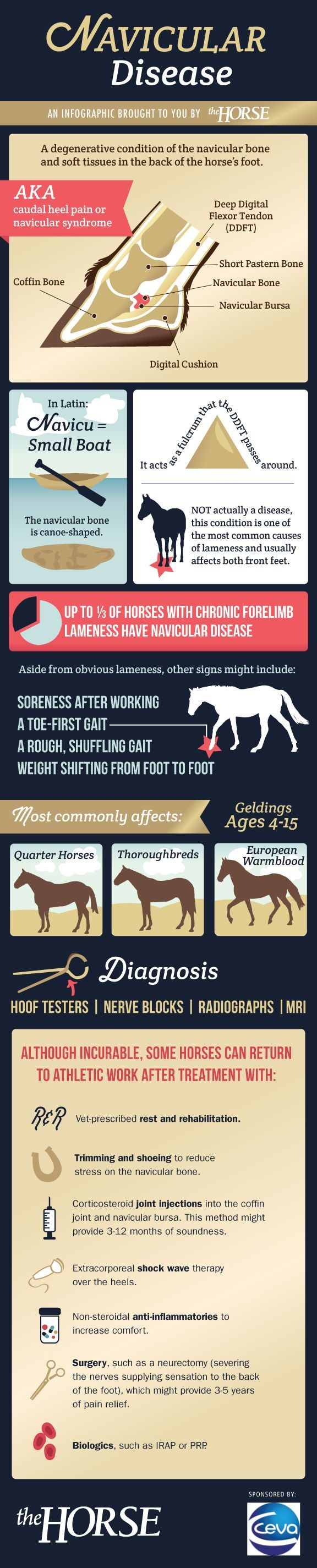 [INFOGRAPHIC] Navicular Disease in Horses - The navicular is a tiny bone that can cause big problems in horses. It and its associated structures are responsible for up to 1/3 of all front-limb lamenesses. Learn more in our step-by-step visual guide from http://TheHorse.com and CEVA.