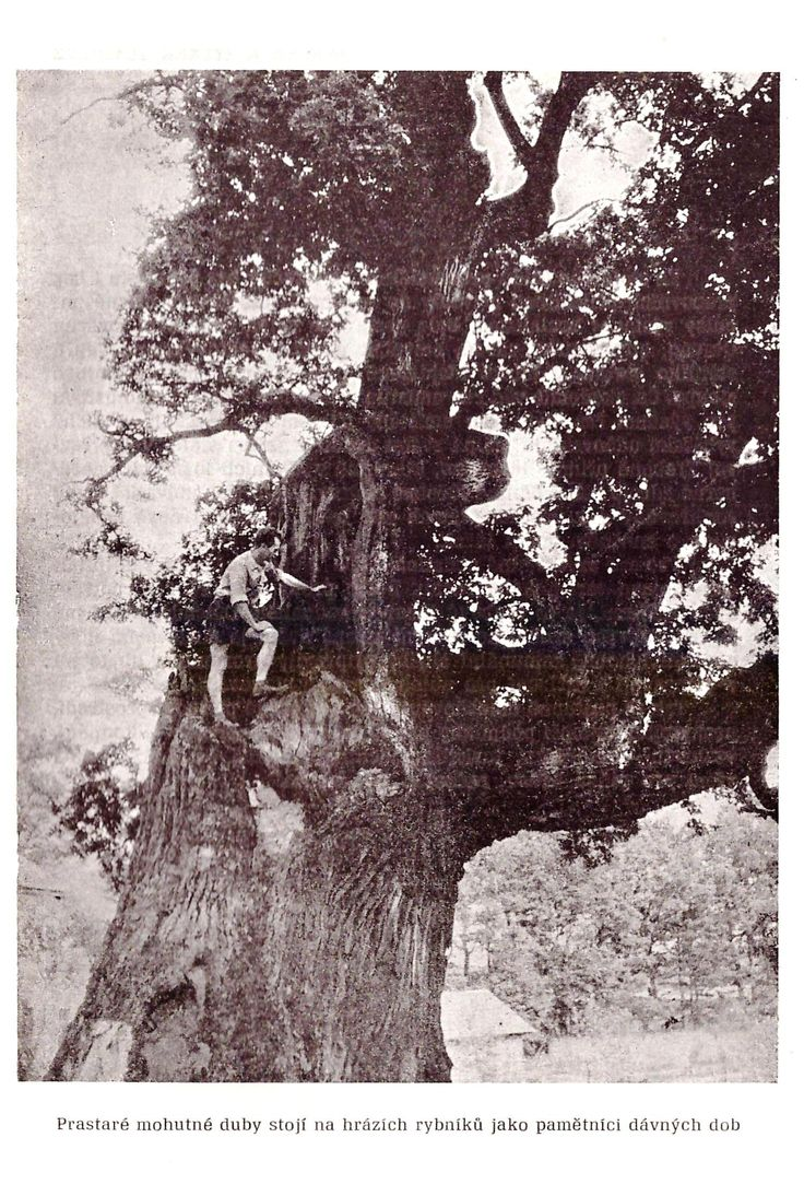 the hundred year old oak trees