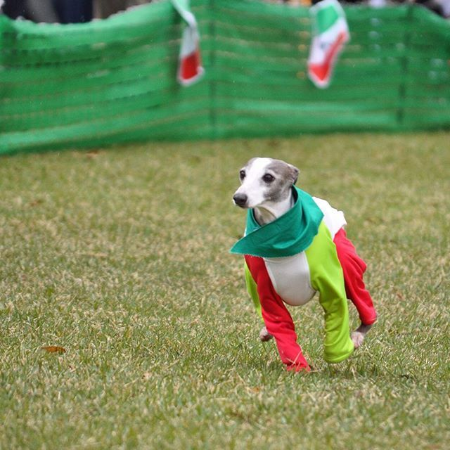 WEBSTA @ shiratamamocchi - **走り方もかわいいJAYくん٩꒰৹৺৹ઌ꒱♡**#umiosa #海おさ#イタグレ #italiangreyhound