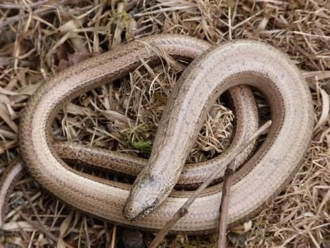 Slow-worm? It is neither slow or a worm   Peter Orchard