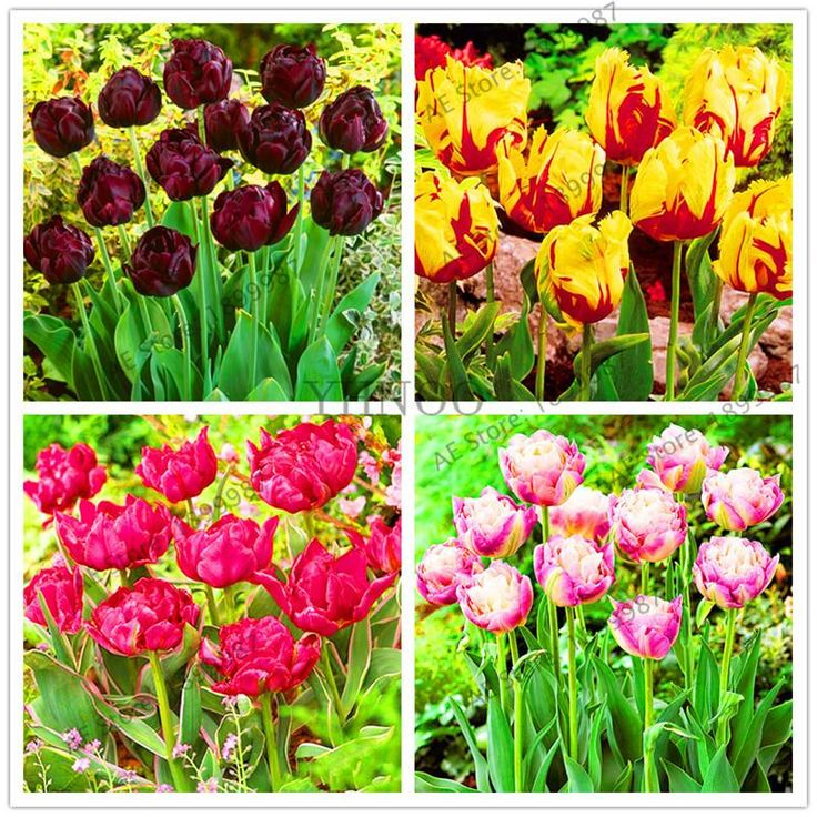Garden Pots Planters 100pcs True Tulip seeds, Double Tulip 'Barbados' Flower Bulbs,Tulips seeds Root Tulipanes