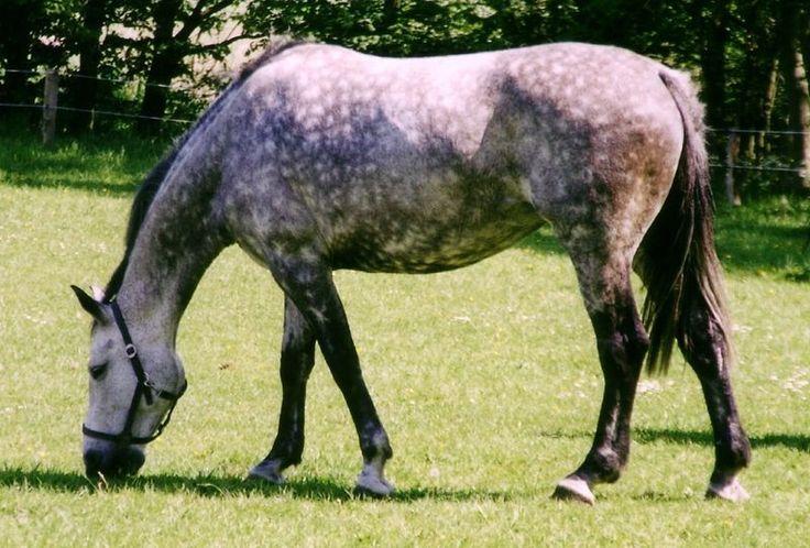 Amerikan Benekli Atları