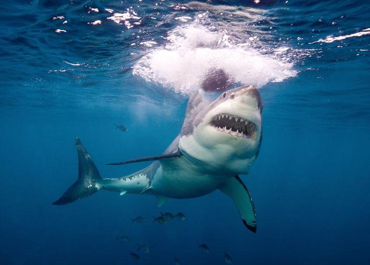 El tiburón blanco y su reacción ante señuelos | En un estudio publicado en 1985 en el cual se buscaba explicar la alta frecuencia de ataques de tiburón blanco a surfistas en California, J. E McCosker presento la siguiente teoría: la silueta de una persona sobre su tabla de surf es muy similar a la imagen de un lobo marino