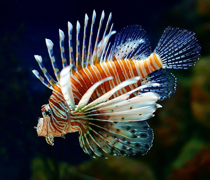 Broadbarred Lionfish Pterois Antennata For More Information Or A Complete Price List Please E Mail Contactus Wholemarine Co Lion Fish Fish Pet Tropical Fish
