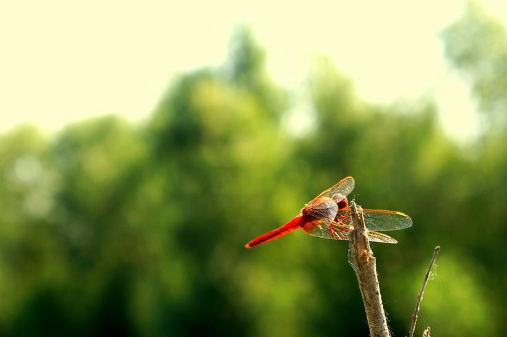 libelula rosie