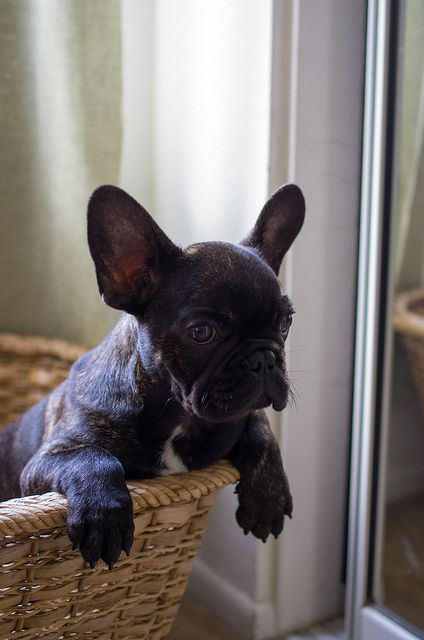 French Bulldog Puppy in a basket. | Animals~Fabulous ...