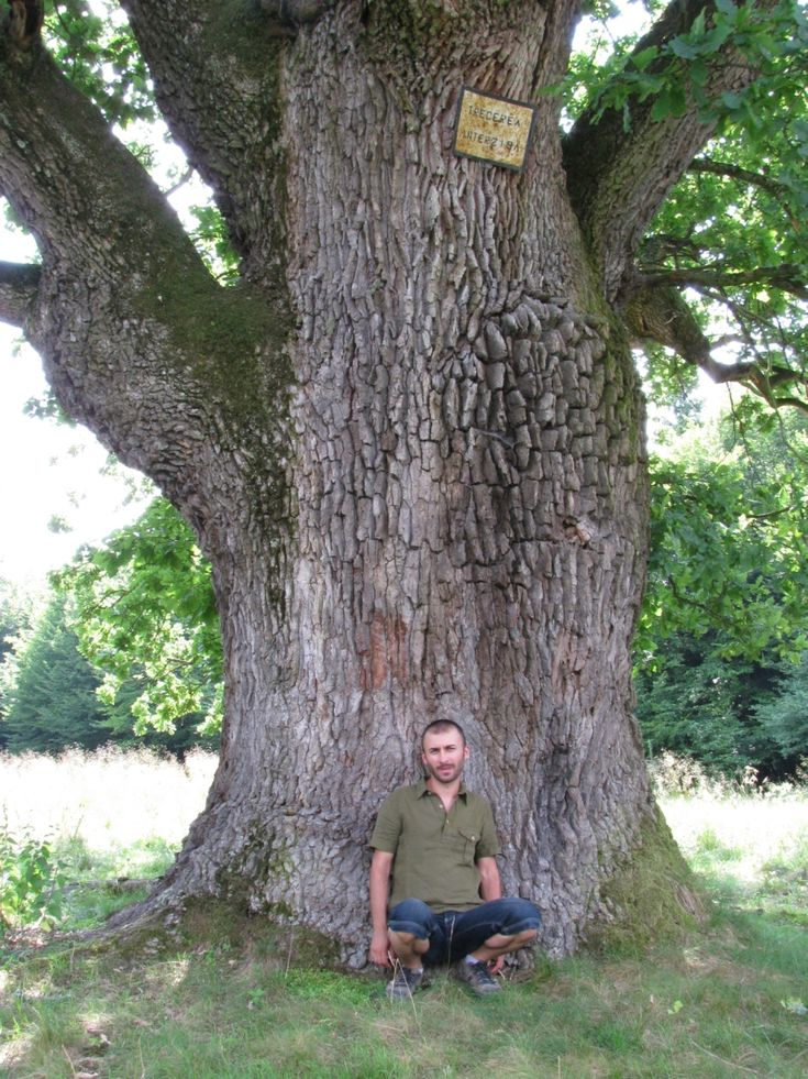 Stejari seculari din Romania | Stejari multiseculari Breite, Cristian, Mociar, Letea