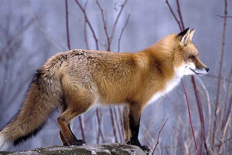 """Red fox, not the comedian. There is a reason people say """"smart as a fox."""""""