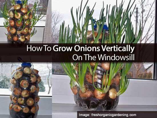 How To Grow Onions Vertically On The Windowsill [ILLUSTRATED] | #garden #indoors #onions