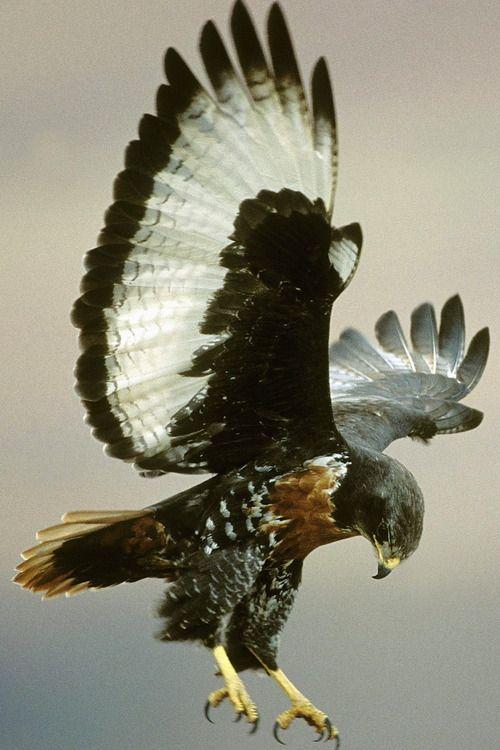 Jackal Buzzard (Buteo rufofuscus) is a 45–55 cm long African bird of prey.