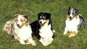 Avusturalya çoban köpekleri