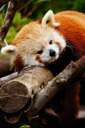 Red panda relaxing