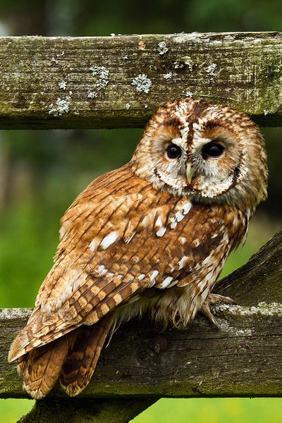 Beautiful Pose // Tawny Owl // Chouette Hulotte