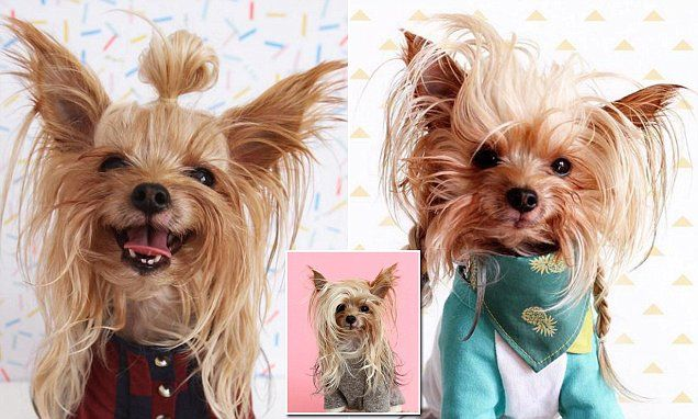This stylish Yorkie is having a better hair day than you
