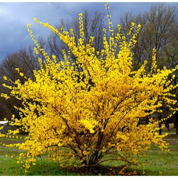 Forsythia. These brilliantly colored yellow shrubs are typically the first to bloom in spring. They have a fountain shape that I am partial to and the foliage looks good even when they aren't in bloom.