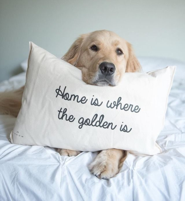 Pin By Mikaela Hull On Dog Golden Retrievers Retriever Golden Retriever Dogs