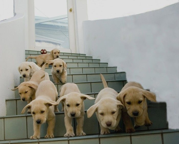 That just looks like trouble! One puppy is enough to take care of.Dogs, Funny Animal Pics, Pets, Writing Prompts, Baby Animal, Things, Puppies Bombs, Labrador, Labs Puppies