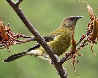 Identifying New Zealand Birds. Bellbird.