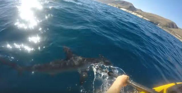 Tiburón martillo ataca por casi 5 minutos a un hombre en un kayak