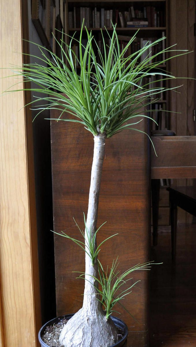 Ponytail palm: an easy-to-care-for houseplant