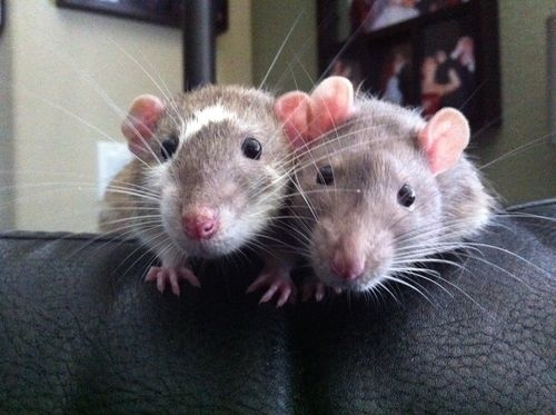 Adorable! #ratties