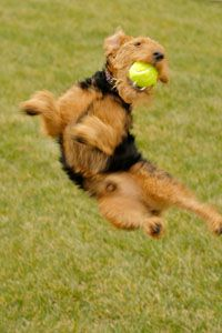 Charlie - a typical Welsh Terrier!