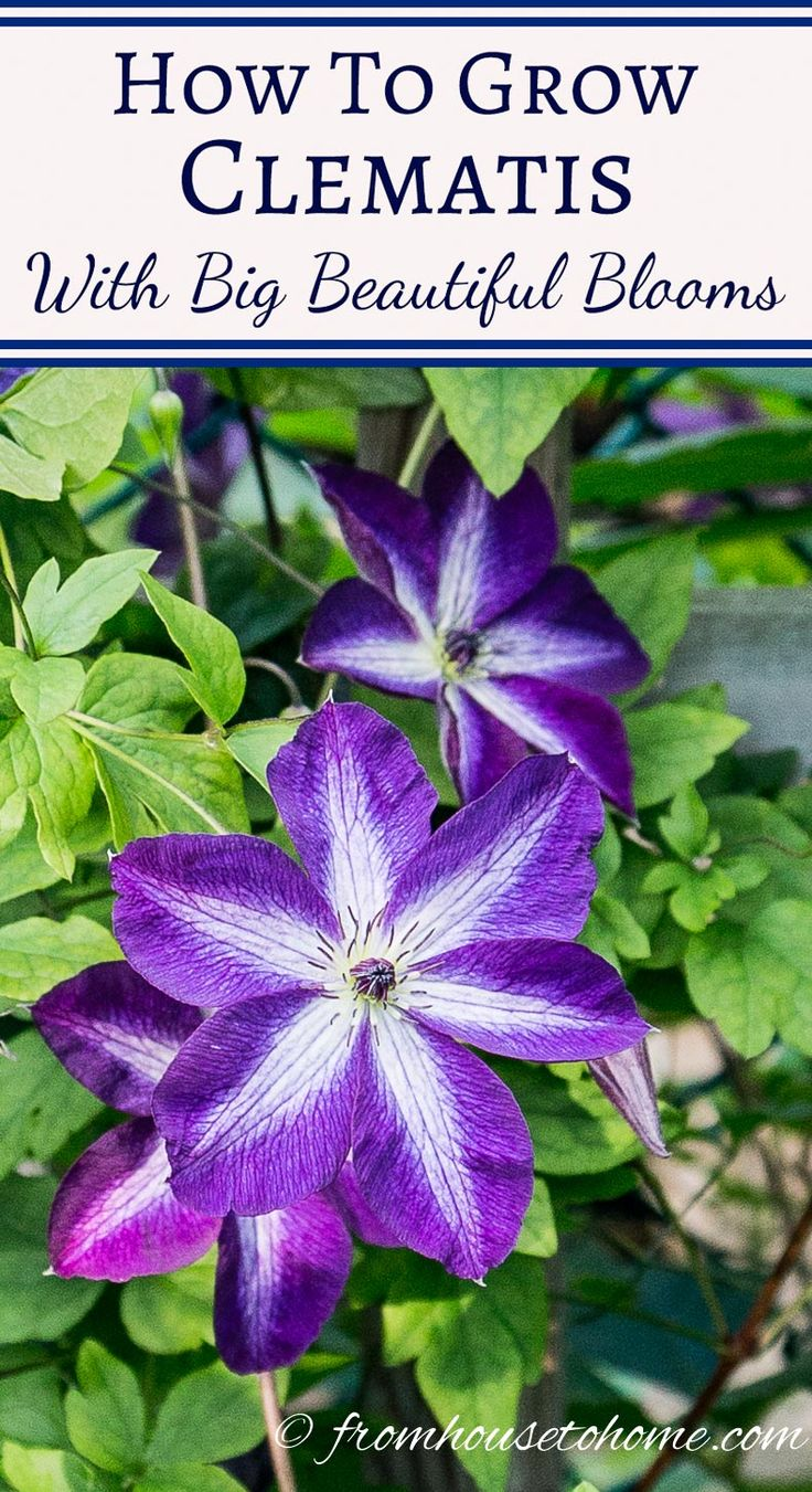 These tips on growing Clematis are the BEST! They tell you everything you need to know about pruning, fertilizing and caring for Clematis. I need some vines to cover the fence in my backyard and the ones with the purple flowers are perfect! Definitely pinning!!