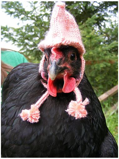 I wonder if my chickens would wear this?Lmao