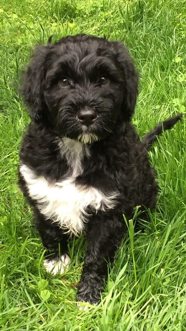 My Brand New Portuguese Water Dog Pup Almost 9 Weeks Old Https Ift Tt 2imbeqy Cute Puppies C Portuguese Water Dog Portuguese Water Dog Puppy Water Dog Breeds