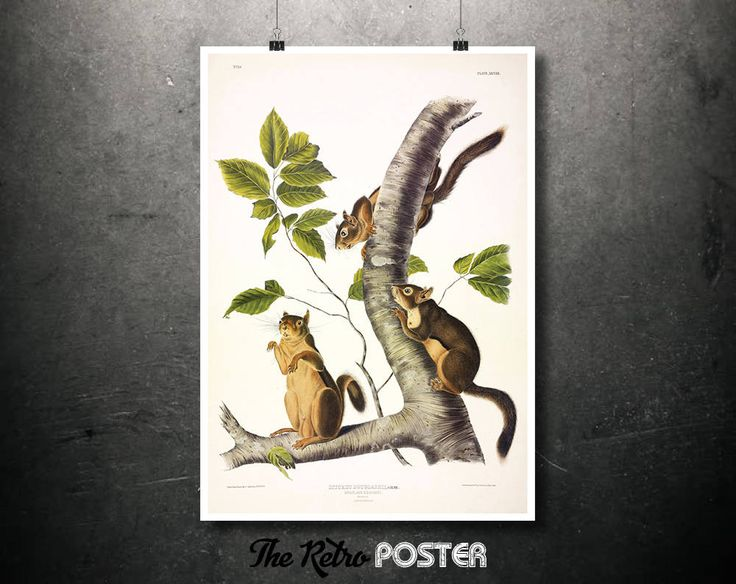 Douglass Squirrel, Gray - 1844, Drawn from Nature by John James Audubon - Nature Prints, Squirrel Print, Botanical Poster Vintage, Kitchen by TheRetroPoster on Etsy