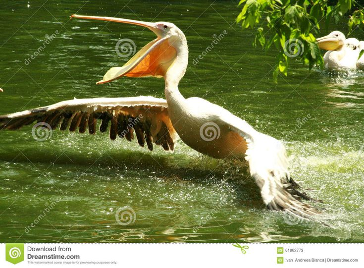 Great White Pelican - Download From Over 56 Million High Quality Stock Photos, Images, Vectors. Sign up for FREE today. Image: 61062773