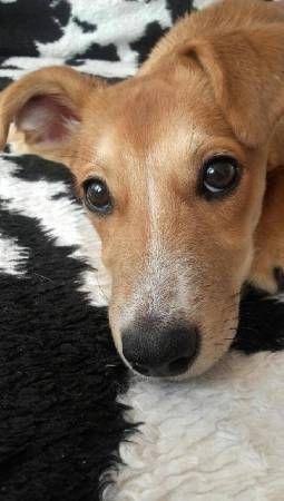 Pusia Pies do adopcji Pusia, ( chociaż powinna nazywać się Szczęściara) została oddana do schroniska w poniedziałek, gdzie przebywała niecałe dwie godziny. Akurat w tym czasie zaprzyjaźnione z Nami wolontariuszki, odbierały tamtejsze szczeniaki i jak ją zobaczyły, nie miały serca jej zostawiać, chociaż brak było dla Niej domu tymczasowego. Tutaj wielki ukłon dla Naszego wspaniałego domu tymczasowego – Pani Olgi, za szybka decyzje, ze, pomimo iż dopiero skończyła tymczasowanie innego malucha…