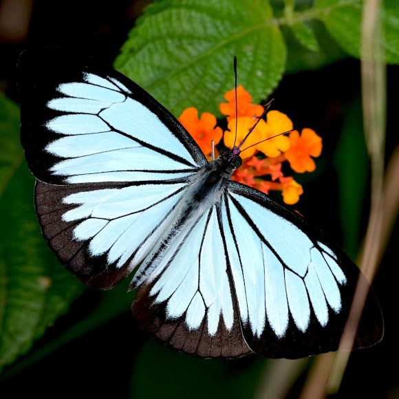 ✯ A Common Wanderer (Pareronia valeria) from Indonesia