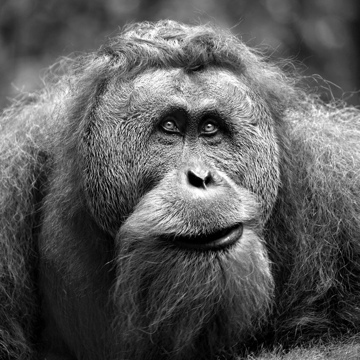 Eye Contact. A male Orangutan in Gunung Leuser National Park, near Bukit Lawang on the island of Sumatra, Indonesia, by Rob Kroenert