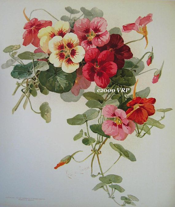 Print FREE SHIP Summer Nasturtiums Flower Paul de Longpre CP75
