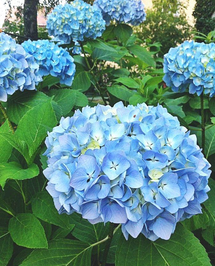 Blaue Hortensien Mit Eisen Dungen Frag Mutti Blaue Hortensien Hortensien Hortensien Garten