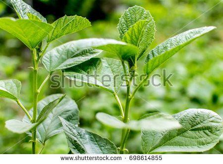 Psoralea Corylifolia also known as Babchi in India
