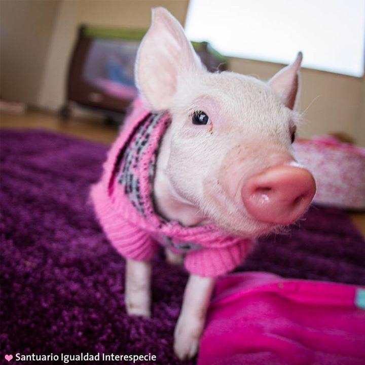 Los cerdos bebés son muy friolentos y dependen del calor que les da su madre para regular la temperatura de sus cuerpos. Lamentablemente Laura no tiene una mamá que la acompañe y le brinde calor ya que su madre continúa siendo explotada en el criadero desde donde fue rescatada hace unas semanas.  Es por esto que en el santuario trabajamos día y noche para brindarle todo el amor y los cuidados que Laura necesita para poder crecer sanita y feliz. Parte de estos cuidados es abrigarla para que…