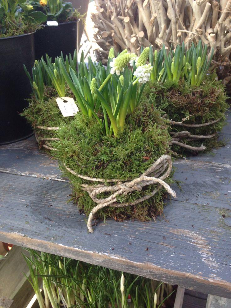 Weiße Traubenhyazinthen in Moos gewickelt mit dickem Paketband. #Frühlingkommt